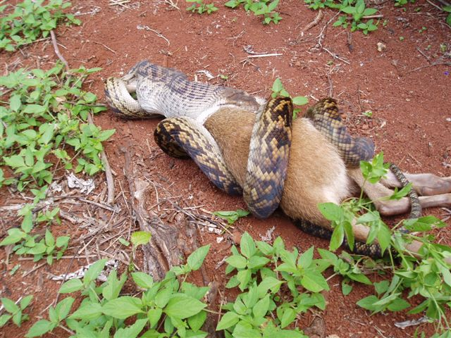 Python on its way swallowing half the kangroo