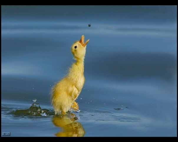 Baby duck catching a bug