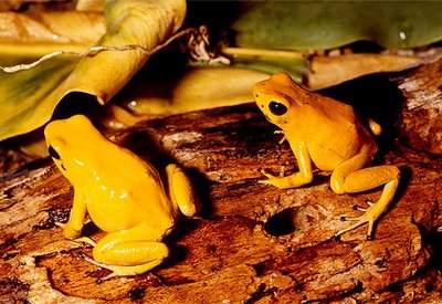 Golden Poison Frog