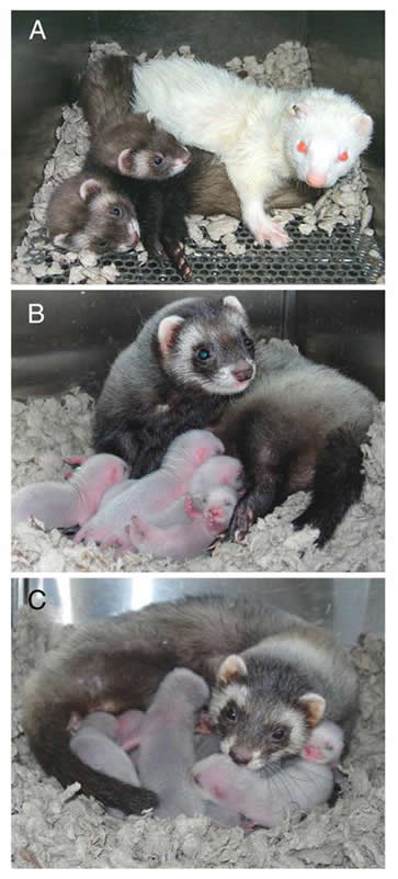 17. Libby and Lilly, Ferrets