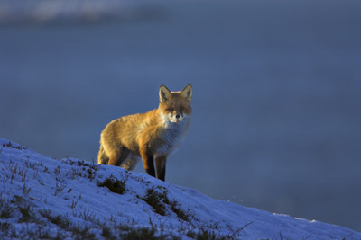 The red fox has been affected by rising global temperatures.