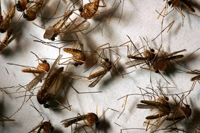 A field sample of mosquitoes that could carry West Nile virus pictured in California.