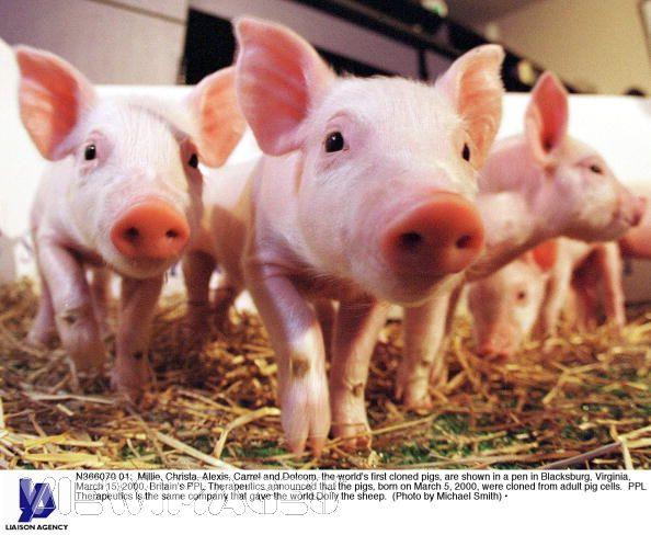 6. A Family of Pigs: Millie, Alexis, Christa, Dotcom, and Carrel