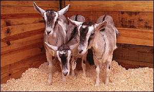 5. Mira the Goat