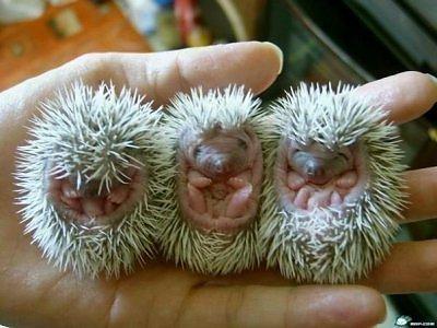 Hedgehogs.