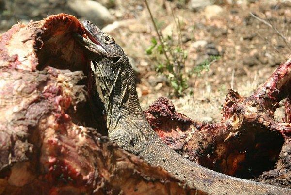 The Komodo Dragon - Image 1