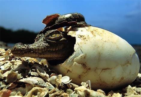 Crocodiles.