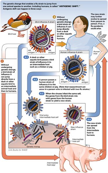 Genetic change in swine flu