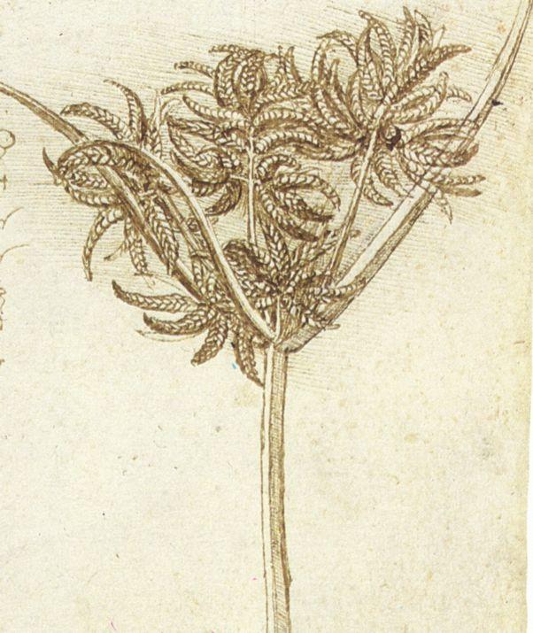 Sedge, c. 1510