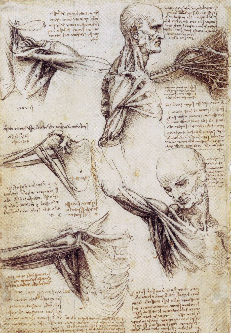 Studies of the Shoulder and Neck, c. 1509-1510